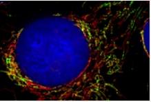 Zellkontrolle der Mitochondrien entschlüsselt