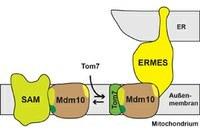 Protein mit vielen Aufgaben