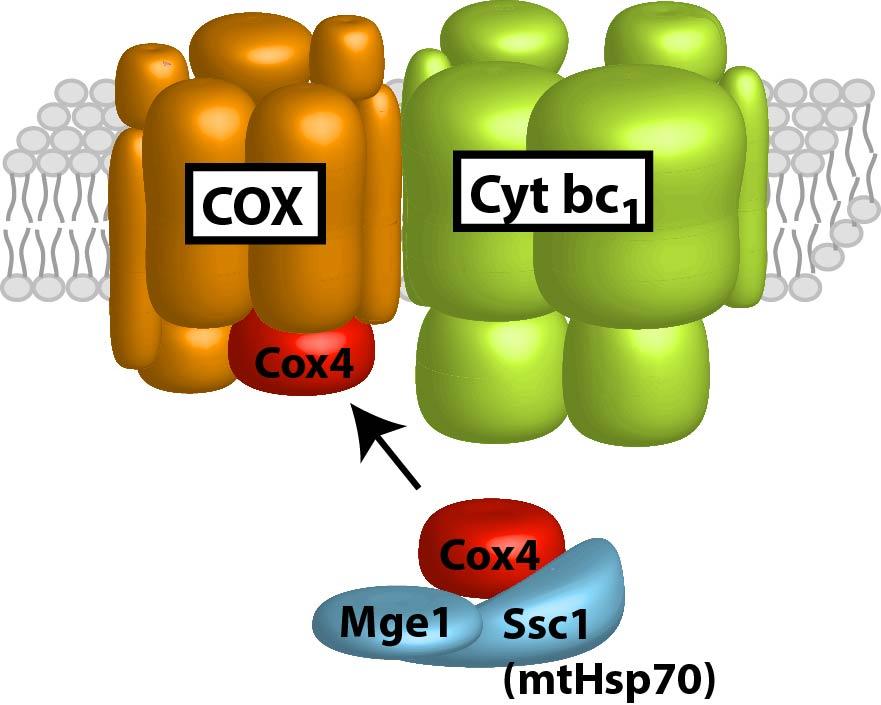 Cox4-Ssc1.jpg