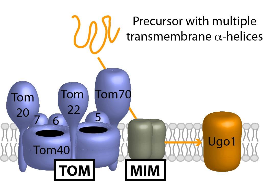 Omp biogenesis.jpg