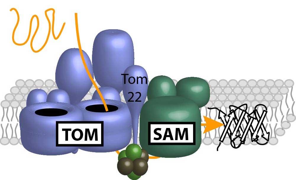 TOM-SAMcomplex_final_1.jpg