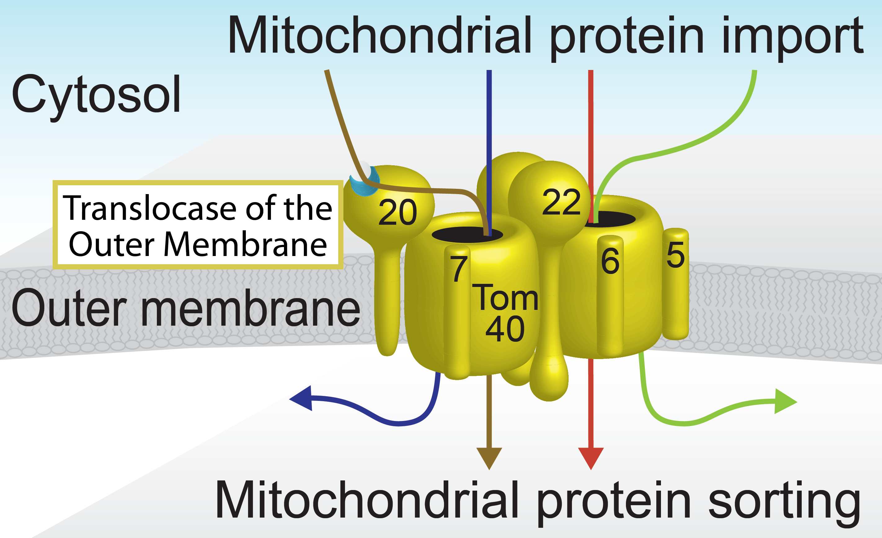 TOM, the entry gate of mitochondria