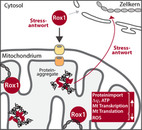 Stress in the Powerhouse of the Cell