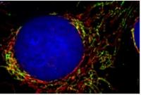 How cells control mitochondria